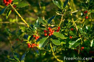 Holly-Tree-and-Red-Berries_web